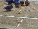Darlenes-Patio-bluebirds
